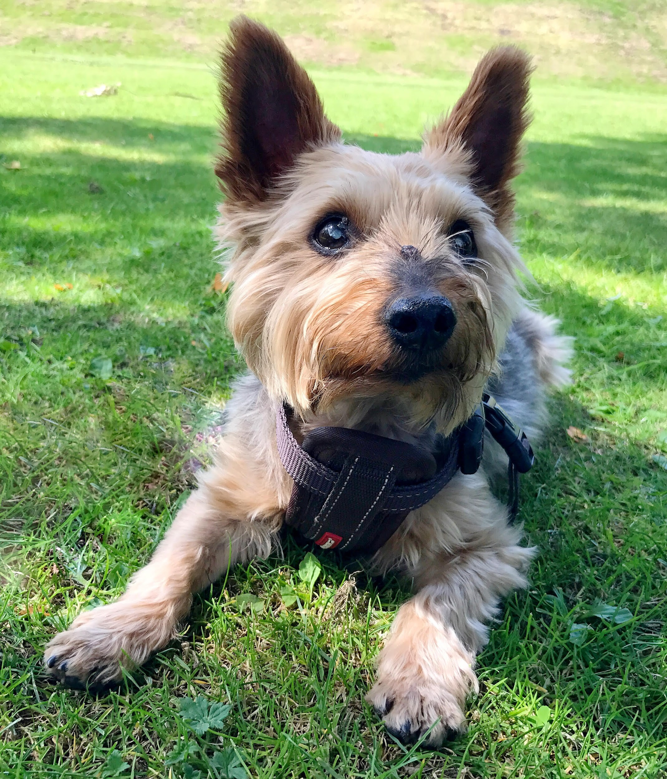 Image of a brown and black yorkshire terrier lying on the grass looking into the camera